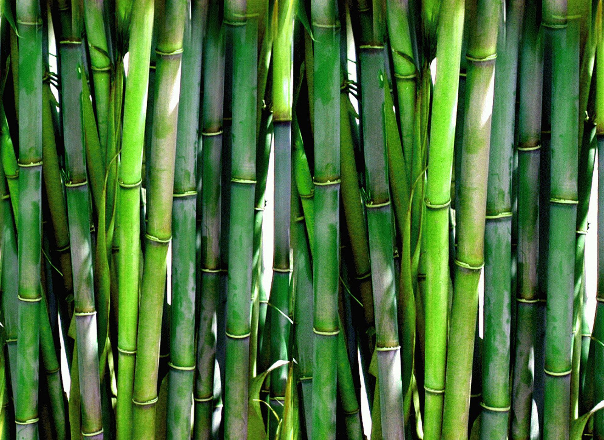 Bambus – všestranně využitelná travina
